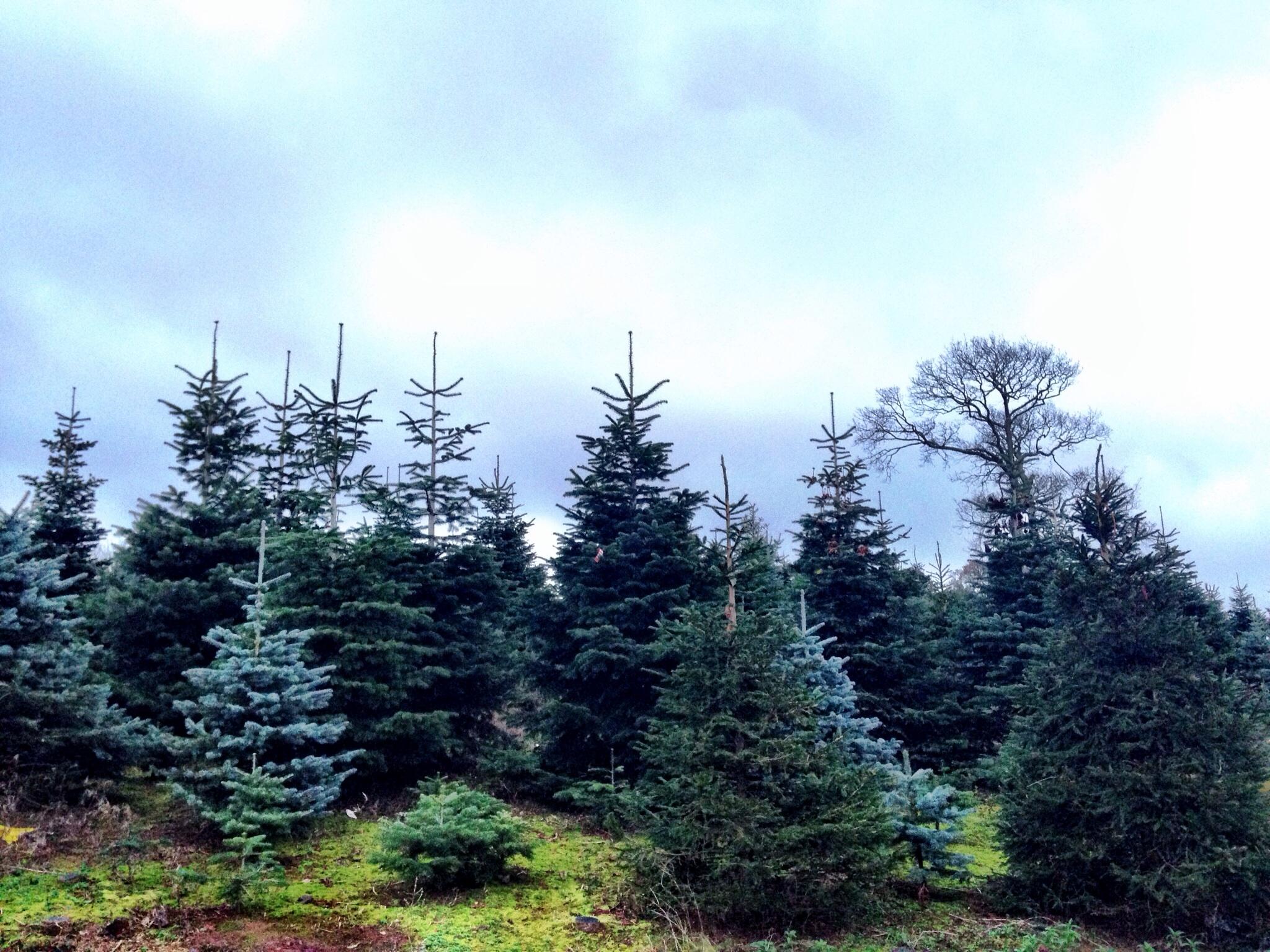 Marldon Christmas Tree Farm | Sophie is…